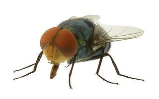 mosca verde sobre fondo blanco foto