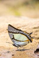 Mariposa vuela en la naturaleza de la mañana. foto