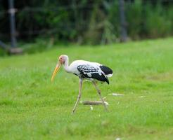 Painted Stork/Painted Stork photo