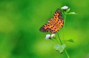 mariposa plana en zigzag