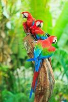papagaio arara