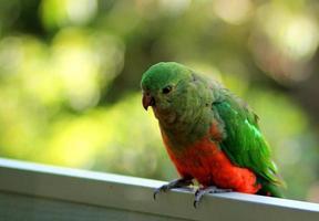 King parrot photo