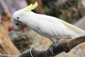 Cockatoos photo