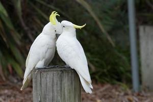 Cockatoo Love