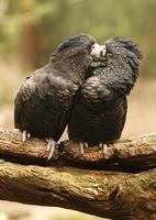 cacatúas besándose