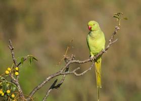Beautiful Rose-ringed Parakeet
