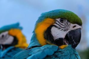 hermoso loro corona azul conure