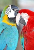 pair of McCaw Parrots preening their feathers