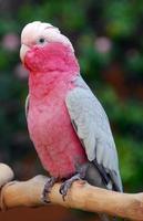 oiseau perroquet cacatoès à poitrine rose galah