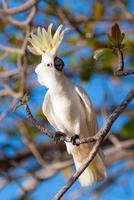 Sulphur crested cockatoo photo
