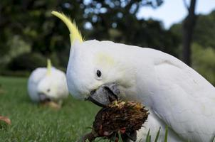 Cockatoos on grass