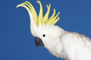 Cockatoo On Blue Background