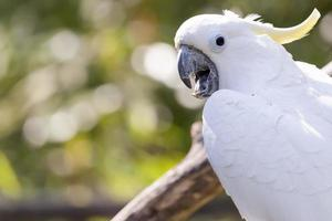 close up of yellow crested cockatoo with blurred foliage background photo