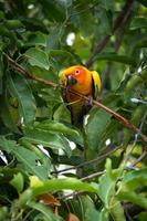 Sun conure parrot on the tree