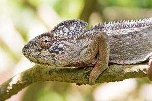 Grey chameleon portrait photo
