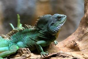 chameleon on log photo