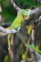 camaleón en la rama de un árbol foto