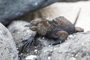 Small marine iguana photo