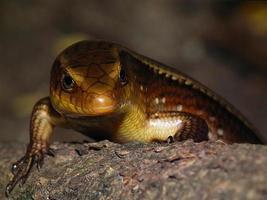 The iguana poses