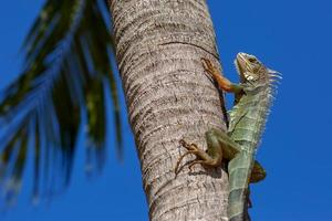 Green Iguana on a palm tree trunk