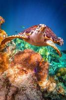 Hawksbill Turtle - Eretmochelys imbricata photo