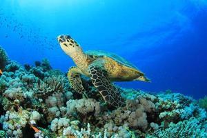 Sea turtle swimming near coral reef