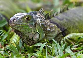 gran iguana