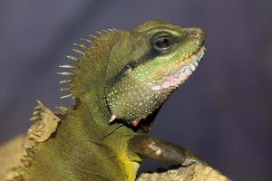 a iguana.