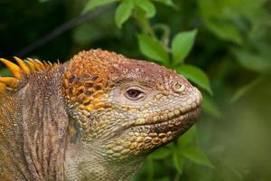 Iguane chef de terre, îles Galapagos, Équateur