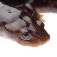 salamandra anfíbio tritão