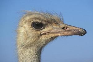 Ostrich, Struthio camelus photo
