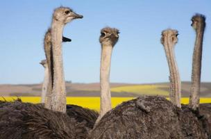Ostrich Flock Close up