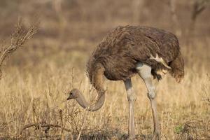 avestruz comum no parque nacional kruger