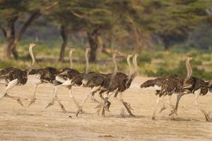 Ostrich flock run together fleeing a predator in Tanzania, Africa