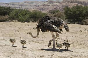 Female of African ostrich with its young chicks