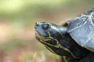 tortuga mordedora poniendo sus huevos foto