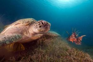 Green turtle and buddy Lionfish in the Red Sea.