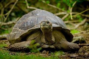 galapagos schildpad in floreana eiland