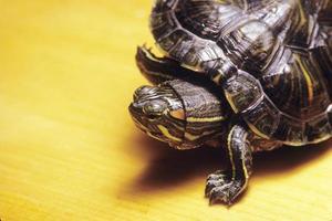 Morocoy turtle