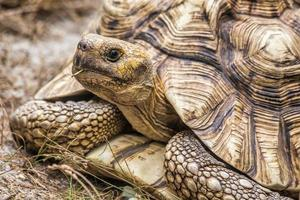 aldabra-reuzenschildpad (aldabrachelys gigantea)