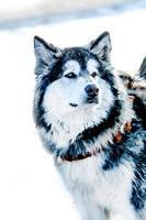 Handsome Alaskan Malamute