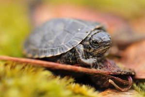 tortuga bebé en vaina de semillas foto
