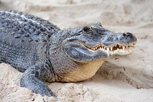 Primer plano de cocodrilo en la arena foto