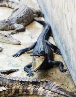 pequeños cocodrilos en granja de cocodrilos foto