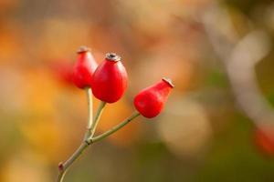 Wild dog rose photo