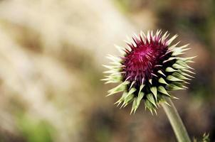 milk thistle photo