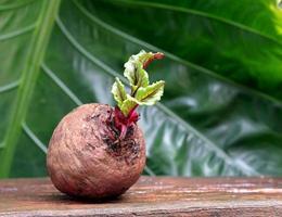 raíz de remolacha