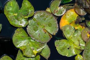 Water lily pads with water drops photo