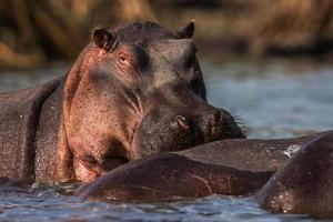 Hippopotamuses (Hippopotamus amphibius) swimming in water, Africa. Close up