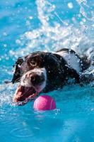 perro de natación abre la boca para enganchar la pelota en la piscina foto